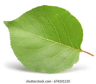 apricot leaf isolated on a white background