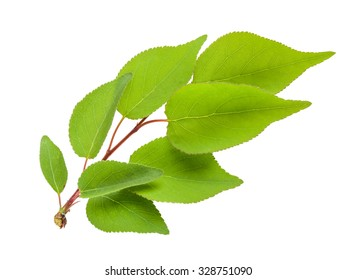 apricot leaves isolated
