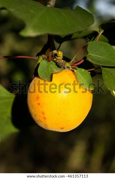 Apricot on a tree. Ripe apricots grow on a tree.