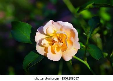 Apricot orange rose flower growing in the garden