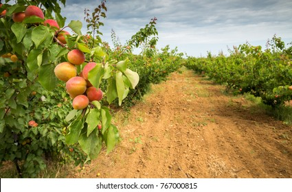 Apricot orchard. Agricultural field with apricot trees and a dirt path