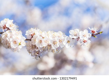 Apricot plum tree Blossom in spring time, beautiful white flowers, soft focus. Macro image with copy space. Natural seasonal background.