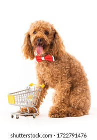Apricot poodle with shopping cart isolated on white. Funny little dog.