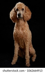 Apricot poodle in studio with black background