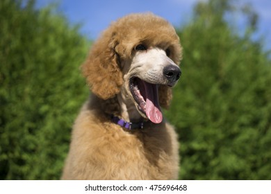 Apricot standard poodle puppy