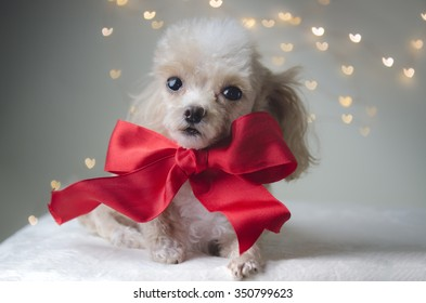 Apricot toy poodle with big red bow and hearts in the background