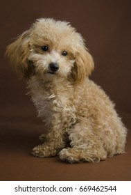 Apricot toy pure bred poodle puppy in a teddy bear clip with a brown background in sitting position.