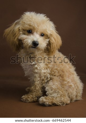 Apricot Toy Pure Bred Poodle Puppy Stock Photo Edit Now 669462544