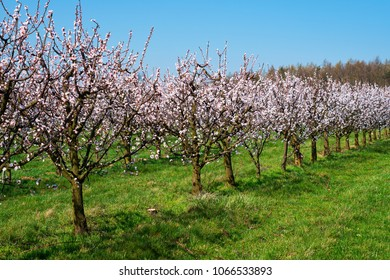 Apricot Tree In Bloom, fruit trees with blossom in springtime