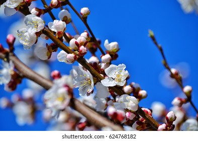 Apricot tree in blooming