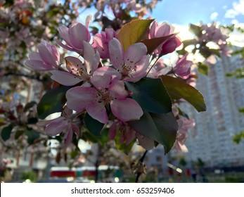 Apricot tree blossom (flowers)