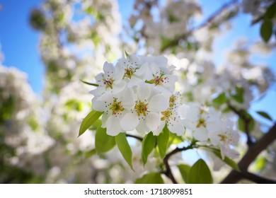 branche de l'arbre de l'abricot au moment de la floraison