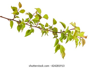 apricot tree branch isolated on white background