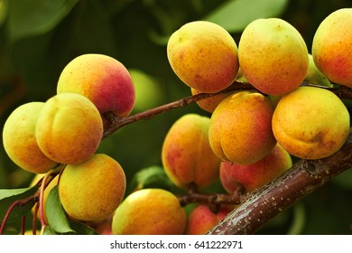 Apricot tree during the ripening of fruits in a summer sunny day