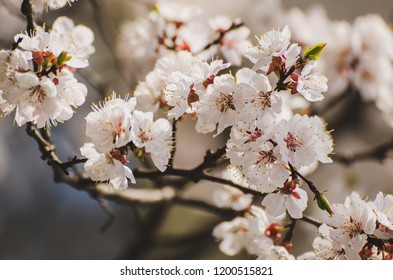 Apricot tree flower with buds blooming at sptingtime, vintage retro floral background, shallow depth of field