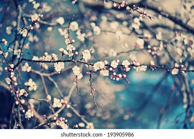 Apricot tree flower with buds blooming at springtime, vintage retro floral background