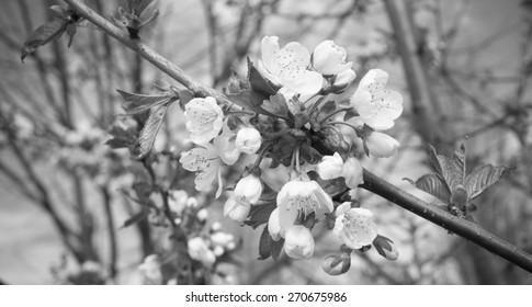 Apricot tree flower, seasonal floral nature background