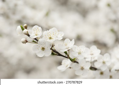 Apricot tree flower, seasonal floral nature background, shallow depth of field
