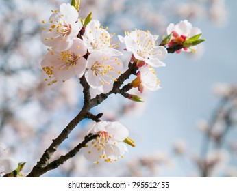 Apricot tree flowers with soft focus. Spring white flowers on a tree branch.  Apricot tree in bloom. Spring, seasons, white flowers of apricot tree close-up.