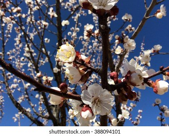 Apricot tree in spring blue-sky