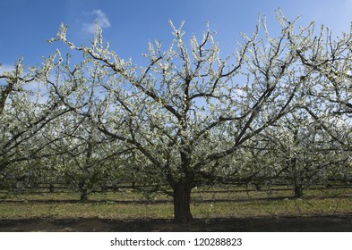 Apricot trees in blossom