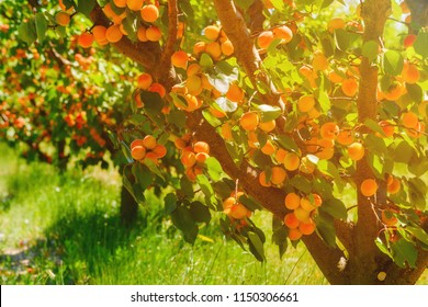 Apricot trees with ripe apricots on a farm
