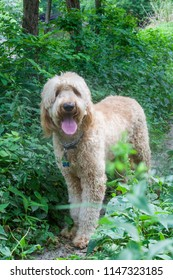 An apricot and white Goldendoodle named Woody on a path in the woods