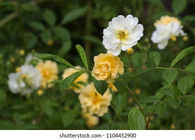 Apricot yellow and white flowers of the rambling rose christine helene, the small flowers on long panicles appear several times throughout the summer, selected focus, narrow depth of field