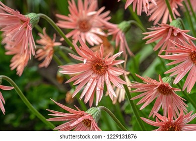 Apricot-colored Asters after a Rainstorm