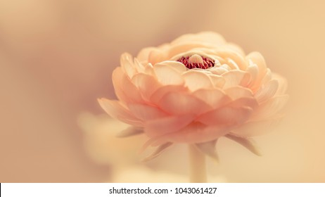 apricot-coloring ranunculus (Ranunculus asiaticus) with tender soft background