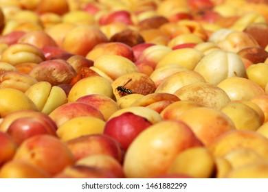 Apricots dried in the sun. Malatya city, Turkey.