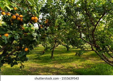 Apricots hanging on an apricot tree in a apricot plantation