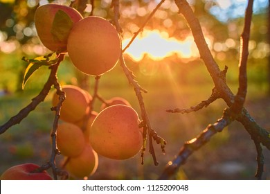 Apricots on apricot tree. Summer fruits.  Ripe apricots on a tree branch. Close up. View on apricots during golden hour.