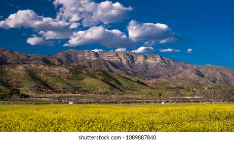 APRIL 19, 2018 - OJAI CALIFORNIA - Field of Yellow mustard and Topa Topa Mountains, Upper Ojai California
