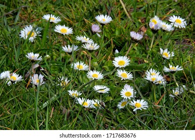 April 2020 common daisy flower commonly found in parks and gardens in the city of Bialystok in the Podlasie region in Poland - Shutterstock ID 1717683676