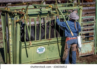 APRIL 22, 2017, RIDGWAY COLORADO: Cowboys vaccinate cattle before branding them on Centennial Ranch, Ridgway, Colorado - a ranch with Angus/Hereford cattle owned by Vince Kotny
