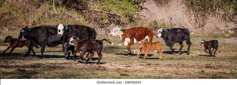 APRIL 22, 2017, RIDGWAY COLORADO: Angus Hereford cross, running on Centennial Ranch, Ridgway, Colorado- a cattle ranch owned by Vince Kotny