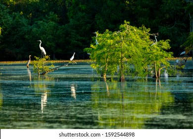 APRIL 25, 2019, BREAUX BRIDGE, LOUISIANA, USA - Lake Martin Swamp and white Egrets in spring near Breaux Bridge, Louisiana - shot from boat