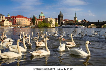 April 26, 2013, the Czech Republic, Prague. Beautiful white swans on the Vltava river