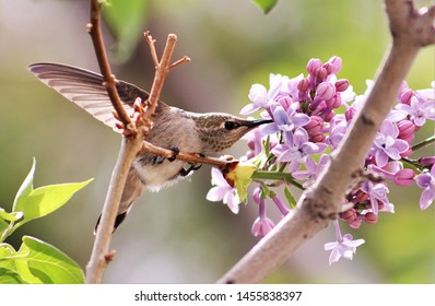 April 7, 2018, Southern CA, USA: The luscious smell of purple lilacs in the spring is accented by a wonderful visitor--female Anna's humming bird.