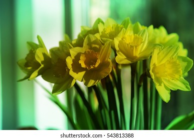 April blooming Daffodil flowers arranged in vase for interior, yellow spring flower, used for fragrances, medicinal plant as traditional medicines. Image with filter effect for garden concept business
