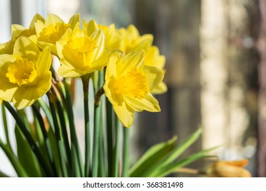 April blooming Narcissi flowers arranged in vase for interior de  Daffodil, yellow spring flower in the Amaryllidaceae amaryllis familiy. Used for fragrances, medicinal plant as traditional medicines