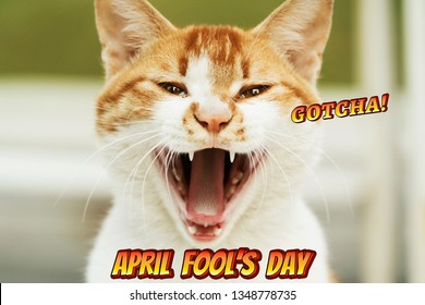 April Fools Day, Gotcha, portrait of white-light brown cat scream