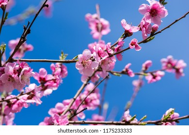 April spring peach tree blossom. Blooming peach trees in spring. Soft focus, natural blur