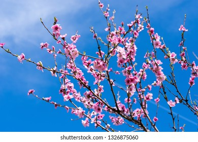 April spring peach tree blossom. Peach blossoms in early spring with blue sky in background.