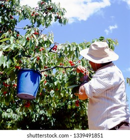 APT,FRANCE-JUNE 21,2015: Man harvesting red cherries Napoleon that will be used to produce bigarreaux in Apt, France