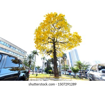 Apucarana / Parana / Brazil - September 17, 2019 - Yellow Ipe tree at Kennedy Square in Apucarana, southern Brazil