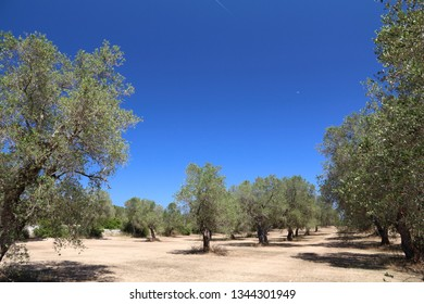 Apulia old olive trees - olive oil making region in Bari Province, Italy. Olive grove.