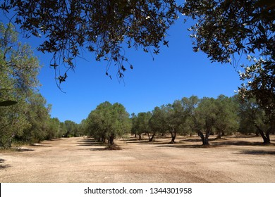 Apulia old olive trees - olive oil making region in Bari Province, Italy.