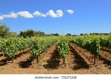 Apulia - Salento - Vineyard at Tuglie